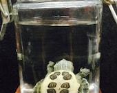 Preserved Turtle Hatchling Red Eared Slider