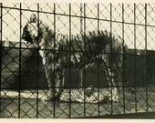 "Vintage Photo ""Motherly Stripes"" Zoo Animal Tiger Snapshot Photo Old Antique Photo Black & White Photograph Found Photo Paper Ephemera - 28"