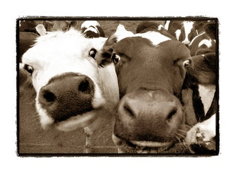 nature photography, Cows, black and white, Farm, funny, silly, happy, Dairy, Sepia, kid's wall art, nursery, Fine Art Photography Print 8X10