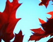 Autumn Red Oak Tree Photo  Blue Sky Fall Leaves Michigan Upper Peninsula Fine Art Home Office Decor
