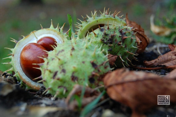 Chestnut photograph, Nature photography,Conker tree, Autumn photography, Rustic home décor, Autumn Harvest,Thanksgiving décor,Horse chestnut