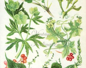 Antique Print, MISTLETOE English plants 51, Edwardian chart beautiful wall art vintage color lithograph illustration 1970 garden