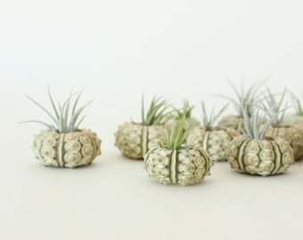 Tiny Green Urchin Air Plant Planter with Baby Air Plant