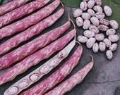 Tongue of Fire Heirloom Bean Seeds Non GMO