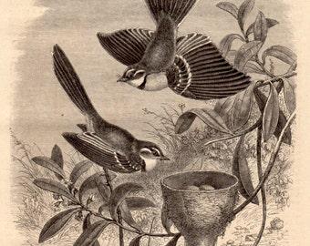 1860 Antique Print of Australian Birds, Wood Engraving, Natural History, Woodcut Illustration, John Gould, Ornithology, Grey Fantail Bird