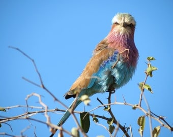 Lilac-breasted Roller - Digital Photo for Download - Beautiful African Bird at Madikwe Game Reserve - South Africa. Colorful African Bird.