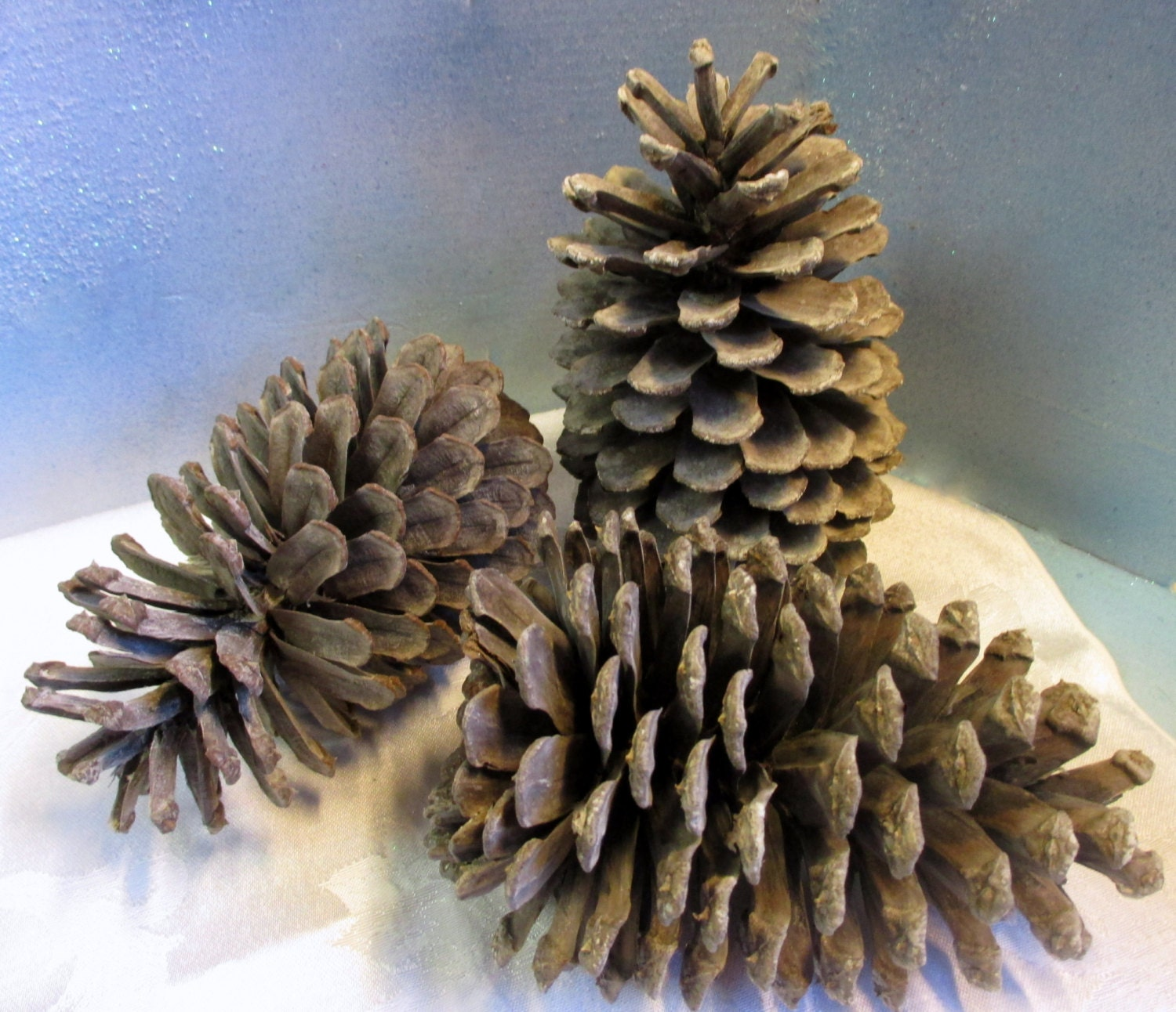 Bleached taupe brown pine cones 3 large pine cones beach for Large pine cones