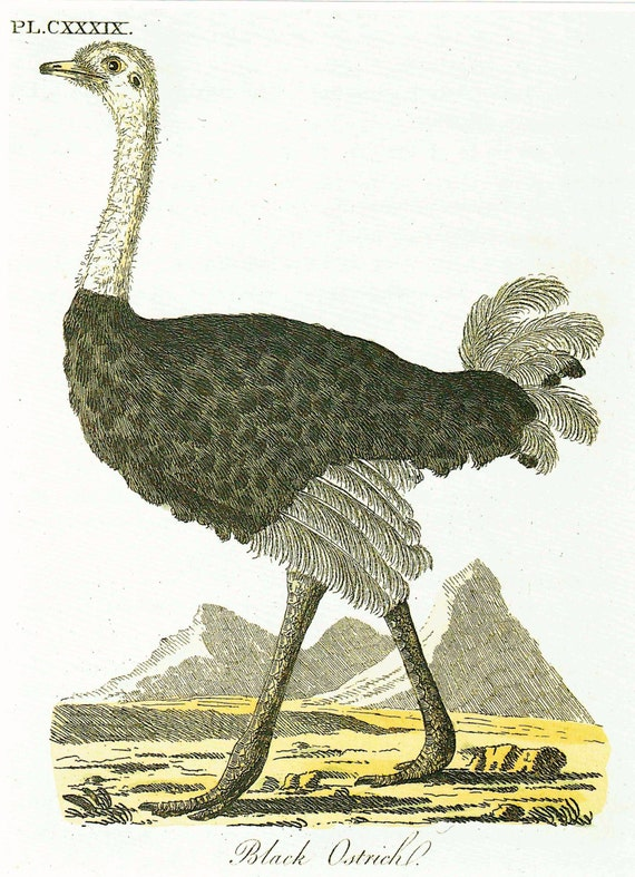 Large bird print of Black Ostrich from hand colored engraving, beautifully detailed, matted for framing, 11 x 14 inches, 1990