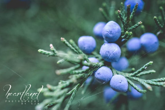 Large Wall Art, Juniper Berries, Blue and Green, Evergreen Tree, Oversized Prints, Macro Photography, Extra Large, Big Winter Photograph