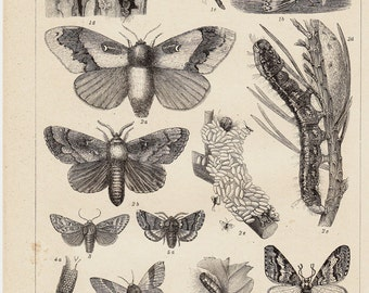 1893 Insect old print. Forest insects, Butterfly, worm, caterpillar