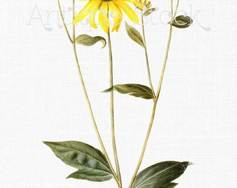 Botanical Flower Clip Art - Leopard's Bane Drawing 1649-1659 - Digital Download for Decoupage, Altered Art, Collages, Cards, Invitations...