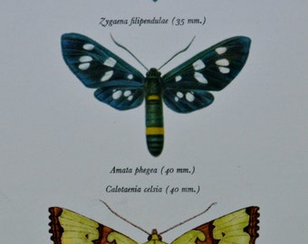 Vintage color book plate. Old print. Butterflies Zygaena, Amata and Calotaenia .1966 illustration. 8 x 10'1 inches or 20'5 x 26 cm.
