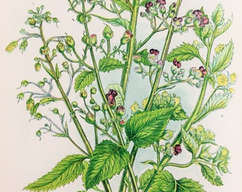 Anne Pratt Antique Botanical  Print - Figworts (154)