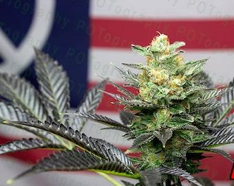 American Ganja (5 options) - Cannabis Poster - Peace Art - Pot Leaf - 420 Print - Marijuana Photo - Ganja Weed Pipe - Bong Sticker - America