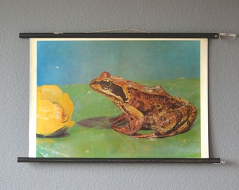 Vintage pull down common frog educational chart school chart map safari Africa zoology print