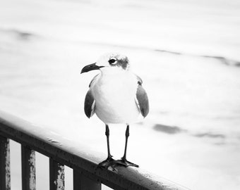 Seagull photo, beach photography, nature art print, black and white bird, 8x10 picture, Laughing Gull, home decor 12x12 16x20 20x30 canvas