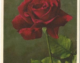 Rose by Thor E. Gyger, Adelboden, Switzerland  - Vintage 1940's Unused Postcard #1942