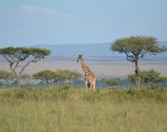 Giraffe and Acacia trees