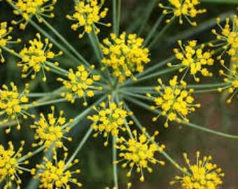 Fennel Seeds, Organic Herb Seeds, Foeniculum Vulgare