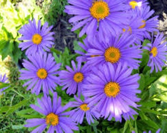 Aster Seeds, Aster Alpinus Blue, Perennial Plant,  Nectar For The Vanishing Bees