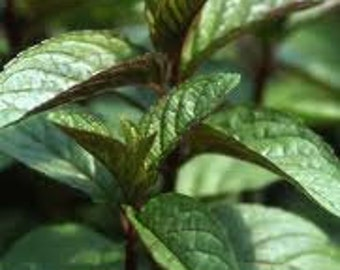 Chocolate Mint Seeds, Organic, Medicinal Herb Plant, Perennial, Culinary Herb, M. × piperita f. citrata, Used for Teas