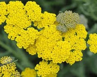 Yarrow achillea Seeds, Moonshine, Perennial Plant, Herb, Drought Resistant, Nice Cut Flower, Unusual Foliage
