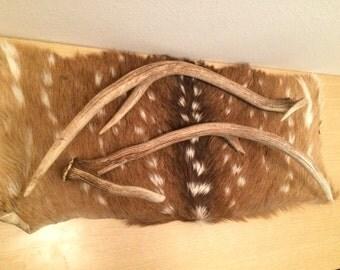 Axis Deer Antlers