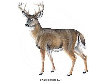 Buck Whitetail Deer Decal Sticker