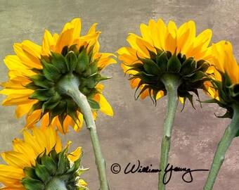 Sunflowers (5099), Fine Art Photography, Flower Photography, Sunflowers, Nature Photography, Fine Art Print, Flower Wall Art