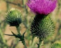 Organic Bull Thistle Biennial Wildflower Seeds Limited Time Only Buy 2 Get One Free edible and attracts butterflies fresh 2015 seeds