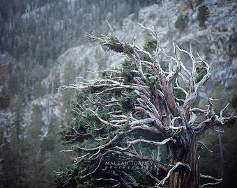 Juniper Tree Photography - weathered, woodland, landscape print, rustic decor - green, brown