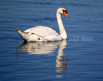 White Mute Swan Swimming in Sunlight on Brilliant Blue Water, Swan Reflection in Rippled Water, Fine Art Photography Print, Bird Wall Art