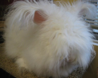 English Angora Fiber 'Sherman'  1oz White Angora Rabbit, Softer Than Cashmere, Multiple Lengths to Spin, Blend, Felt, my Softest Bunny