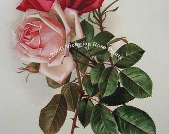 Paul de Longpre, Art Print, Victorian Rose Favorites, Shabby Chic Decor, Vintage Roses
