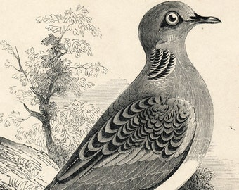 1840s-1850s Antique Engraving of the Turtledove