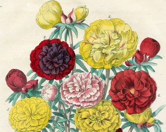 1863 Vintage Botanical Print of Moss Rose - Portaluca Grandiflora - Handcolored - German