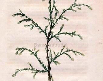 1863 Vintage Botanical Print of Cypress German - Cupressus Lindleyana - Handcolored