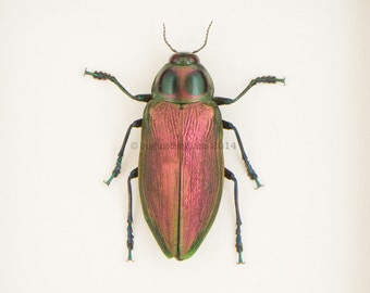 Framed Green Jewel Beetle Natural History Display Euchroma gigantea