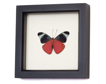 Red Flasher PANACEA PROLA Real Butterfly Display