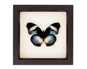 Blue Diadem Real Framed Butterfly Shadowbox