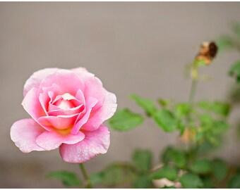 Pink Rose Flower Fine Art Canvas wrap -Washington -Pacific Northwest -Garden