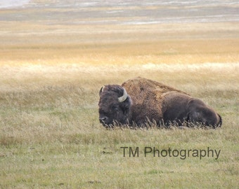 Buffalo - Bison - Wildlife Photography - Buffalo Photography - Wildlife Photo - Fine Art Photography