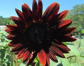 Red sunflower seeds