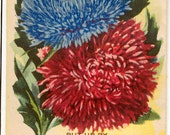ASTER! (Ostrich Plume Finest Mixed) Vintage Flower Seed Packet Tuckers Seed House Lithograph (Carthage, Missouri)