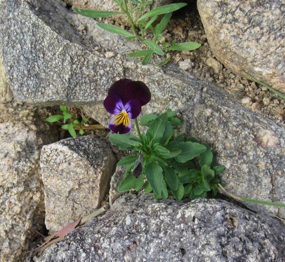 Dried Violas, Real Flowers, Dry  Flowers, Dried Flowers, Violas, Flowers, Edible, Decor, Wedding, Bakery Supply, Cake Topper, Food Crafting