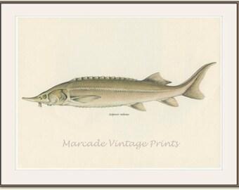 Vintage Fish Print, 1968 (17) Sturgeon, Sterlet, European Fresh Water, Jiri Maly, Ichthyology,