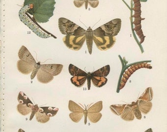 Yellow Underwing, Blackneck Moth, Norfolk Hooktip Moth, Fanfoot Moth, 1926 Vintage Butterfly Print 21 Kirby, English Country, Cottage Decor