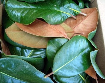 MAGNOLIA LEAVES large box FRESH picked Holiday Wedding Special