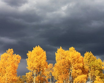 Yellow Aspen Trees and Grey Storm Clouds (photo, various sizes)