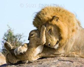 Animal Dads, BABY LION Playing With DAD Photo, Baby Animal Photograph, Wildlife Photography, Safari Nursery Art, Fathers Day, Lion Cub, Cat